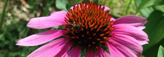 cropped-coneflower-with-bee1.jpg