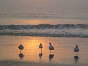 South Georgia Translpant seagulls
